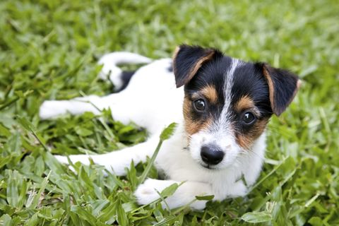 Dog breed, Dog, Mammal, Carnivore, Terrier, Groundcover, Companion dog, Puppy, Canidae, Snout,