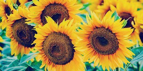 Sunflower, Yellow, Flower, Petal, Orange, Colorfulness, Close-up, Flowering plant, Plantation, Pollen,
