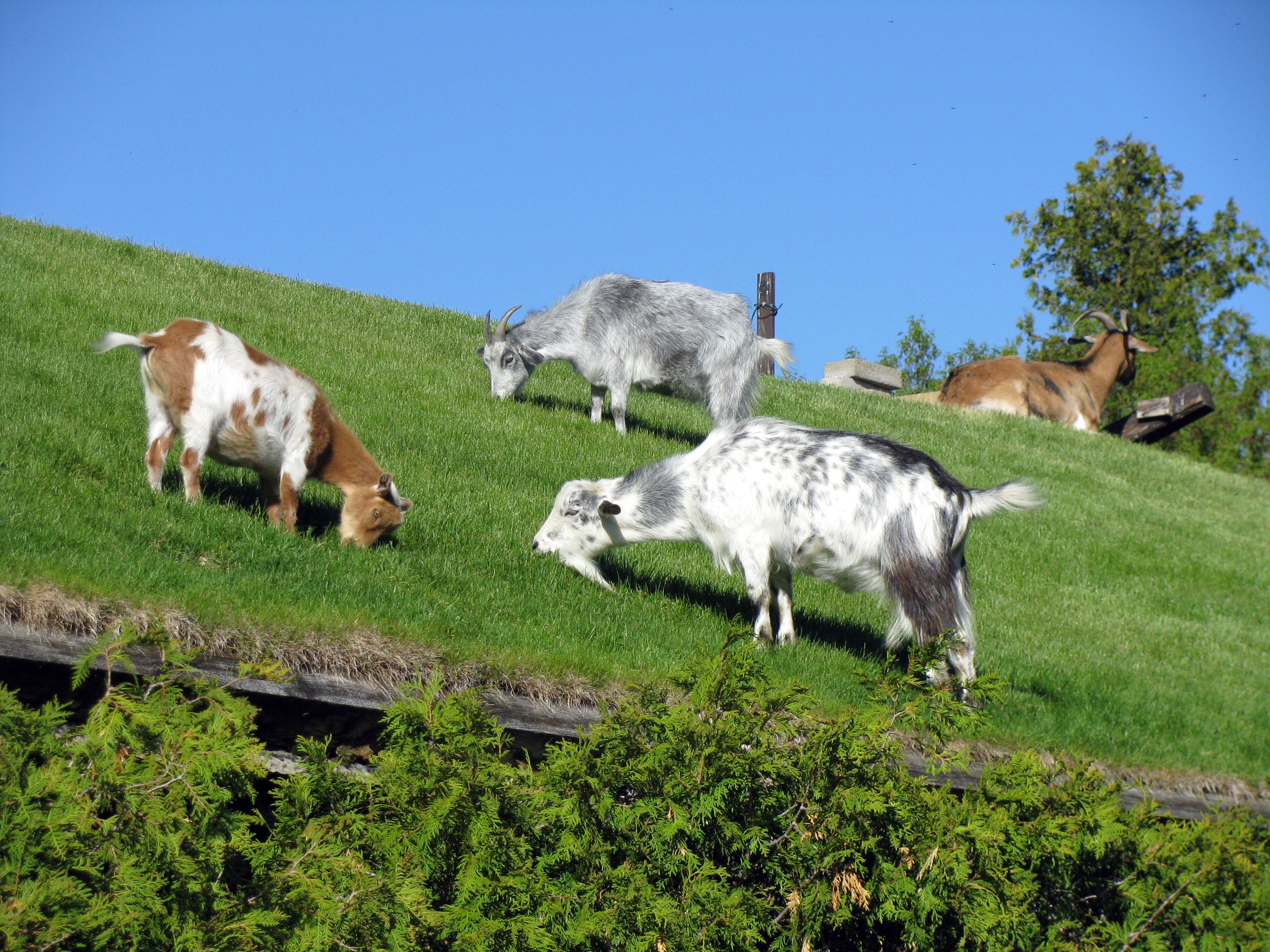 Find Out Why These Goats Are on the Roof of This Wisconsin Restaurant