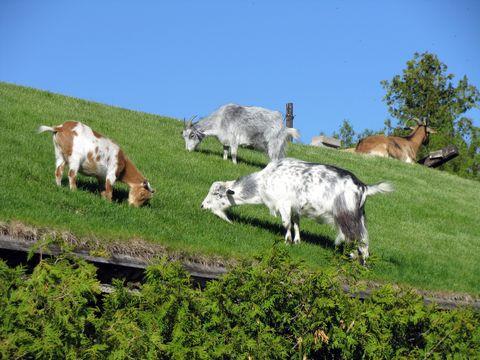 Vertebrate, Pasture, Natural landscape, Rural area, Grassland, Terrestrial animal, Livestock, Herd, Grazing, Meadow,