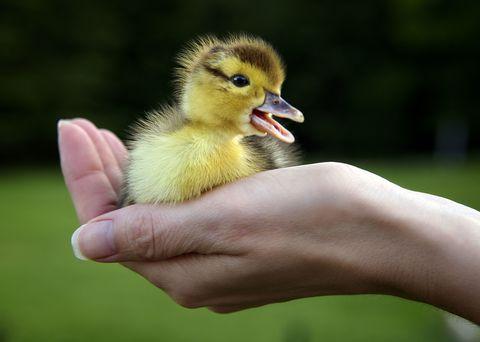 Finger, Skin, Green, Vertebrate, Bird, Beak, People in nature, Ducks, geese and swans, Adaptation, Poultry,