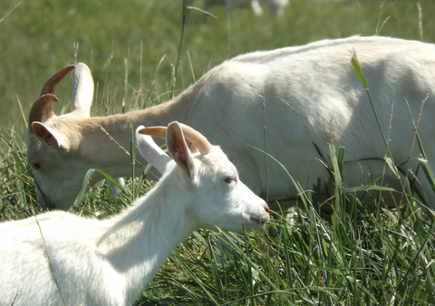 Grass, Natural environment, Vertebrate, Green, Pasture, Terrestrial animal, Grassland, Grazing, Meadow, Rural area,