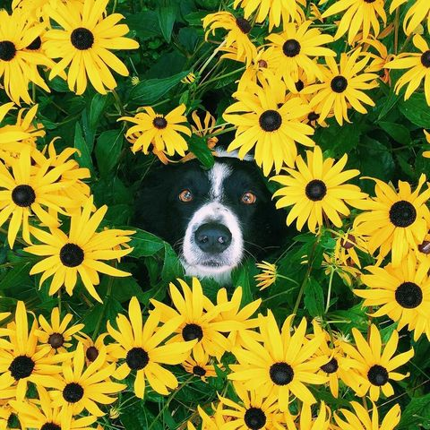 Organism, Yellow, Petal, Flower, Sunflower, Carnivore, Dog breed, Dog, Daisy family, Wildflower,