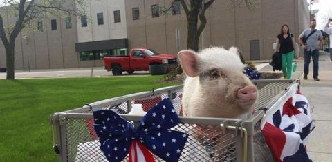 Window, Truck, Flag, Flag of the united states, Suidae, Domestic pig, Livestock, Snout, Lawn, Pickup truck,