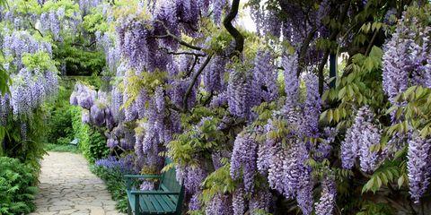 Plant, Purple, Flower, Shrub, Garden, Lavender, Woody plant, Botany, Groundcover, Outdoor furniture,