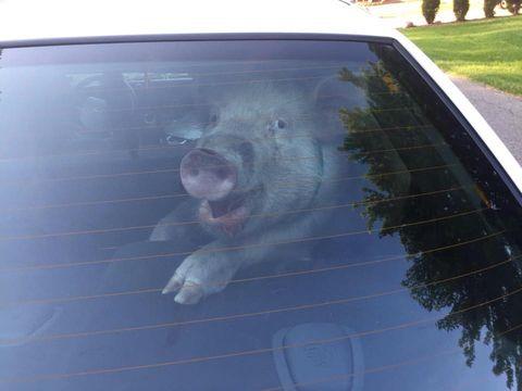 Automotive exterior, Glass, Vehicle door, Hood, Windshield, Snout, Automotive window part, Windscreen wiper, Automotive decal, Dog breed,