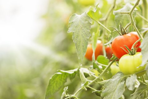 Tomato, Vegetable, Produce, Ingredient, Vegan nutrition, Whole food, Natural foods, Bush tomato, Plum tomato, Cherry Tomatoes,