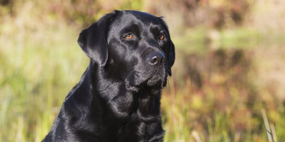 The 16 Best Things About Owning A Labrador Retriever