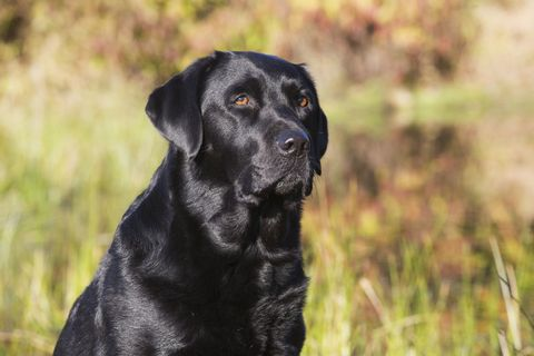 Dog breed, Grass, Carnivore, Dog, Mammal, Sporting Group, Snout, Companion dog, Grass family, Terrestrial animal,