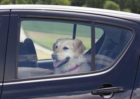 Motor vehicle, Dog, Automotive exterior, Vertebrate, Vehicle door, Carnivore, Dog breed, Mammal, Car, Glass,