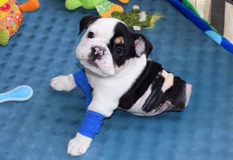 Dog, Carnivore, Vertebrate, Dog breed, Snout, Dog supply, Working animal, Kitchen utensil, Fawn, Collar,
