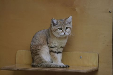 Small to medium-sized cats, Felidae, Whiskers, Cat, Vertebrate, Carnivore, Mammal, Sitting, Snout, Beige,