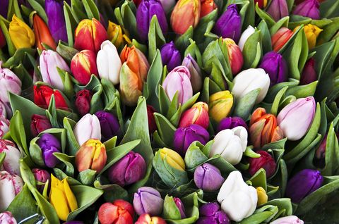 tulip facts what to know about tulips