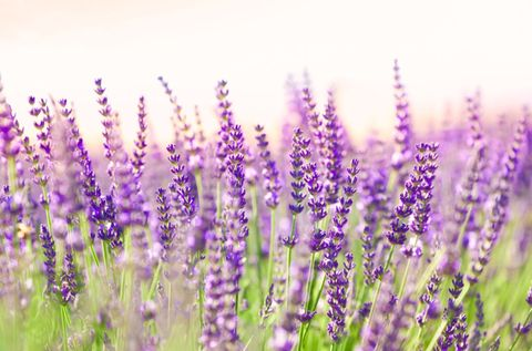 Plant, Lavender, Purple, Lavender, Violet, Wildflower, Herbaceous plant, English lavender, French lavender, Annual plant,