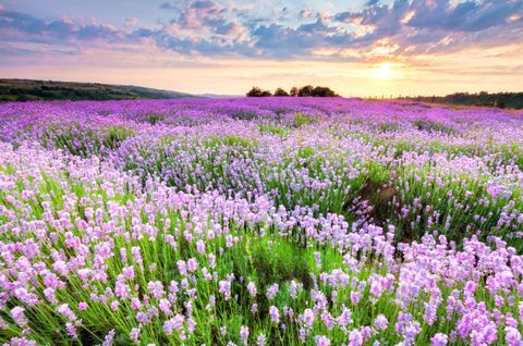 Flower, Purple, Plant community, Lavender, Field, Sunset, Wildflower, Ecoregion, Flowering plant, Meadow,