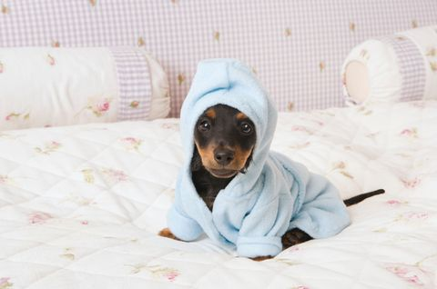 Dog breed, Comfort, Dog, Textile, Mammal, Carnivore, Linens, Companion dog, Bedding, Bed,