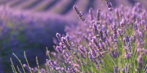 Plant, Lavender, Purple, Agriculture, Field, Lavender, Violet, Botany, Flowering plant, Wildflower,
