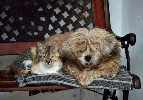 Carnivore, Vertebrate, Dog, Dog breed, Toy dog, Small to medium-sized cats, Felidae, Small terrier, Terrier, Fur,