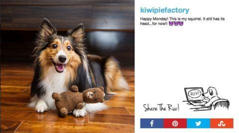 Dog breed, Dog, Carnivore, Shetland sheepdog, Snout, Collie, Herding dog, Scotch collie, Canidae, Toy,