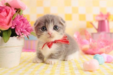 Carnivore, Petal, Flower, Pink, Flowerpot, Cat, Felidae, Whiskers, Small to medium-sized cats, Kitten,