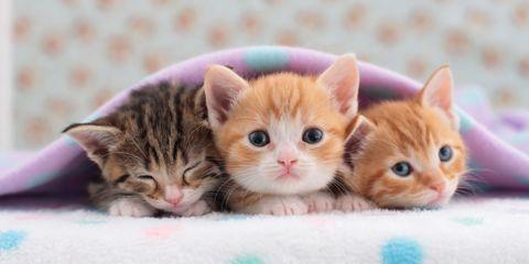 Skin, Felidae, Small to medium-sized cats, Vertebrate, Whiskers, Cat, Carnivore, Kitten, Pink, Peach,