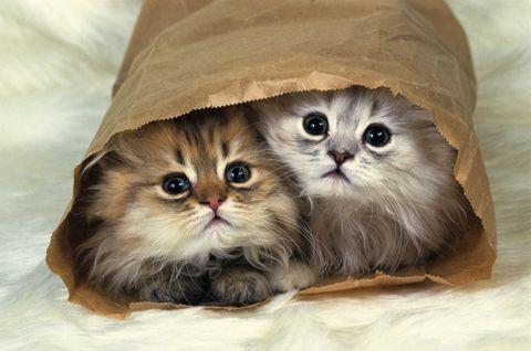 Skin, Vertebrate, Carnivore, Whiskers, Cat, Iris, Small to medium-sized cats, Felidae, Fawn, Beige,