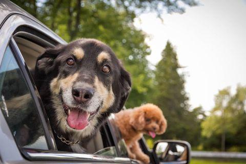 Dog breed, Vertebrate, Dog, Carnivore, Mammal, Automotive exterior, Glass, Automotive mirror, Vehicle door, Sporting Group,