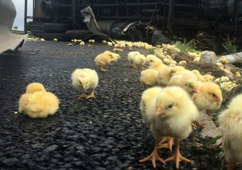 Yellow, Vertebrate, Bird, Phasianidae, Beak, Galliformes, Poultry, Fowl, Livestock, Morning,