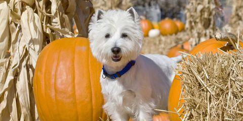 Dog breed, Dog, Carnivore, Orange, Small terrier, Calabaza, Terrier, Toy dog, Pumpkin, Vegetable,