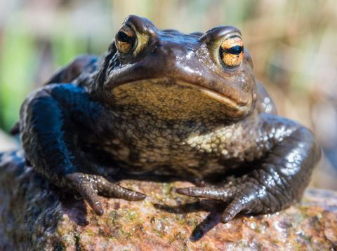 Toad, Amphibian, Organism, Skin, Frog, Vertebrate, True frog, Terrestrial animal, Beauty, Snout,