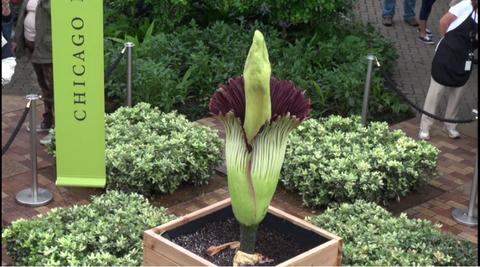 Plant, Leaf, Zaminkand, Garden, Titan arum, Botany, Shrub, Terrestrial plant, Groundcover, Soil,