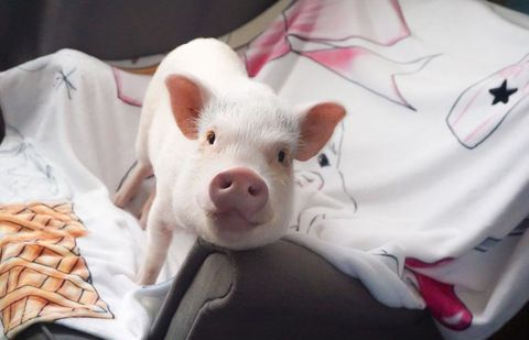 Skin, Pink, Snout, Suidae, Domestic pig, Livestock, Fawn, Peach, Whiskers,