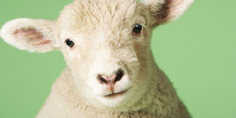 Green, Skin, Sheep, Terrestrial animal, Sheep, Iris, Adaptation, Snout, Light, Organ,