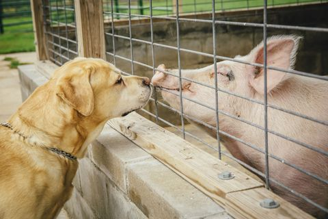 Vertebrate, Dog, Dog breed, Snout, Carnivore, Domestic pig, Collar, Suidae, Fawn, Wire fencing,
