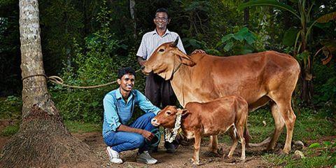 Human, Vertebrate, Bovine, Adaptation, Temple, Livestock, Rural area, Terrestrial animal, Fawn, Working animal,