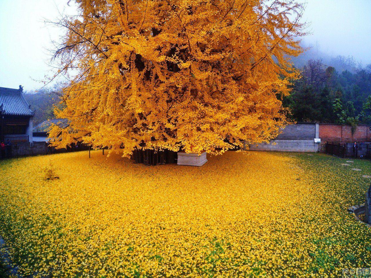 Ginkgo Bilboa Tree Yellow Leaves Beautiful Yellow Fall Foliage