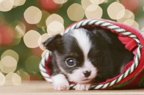 Cute Christmas Puppies - Cute Baby Animal Photos