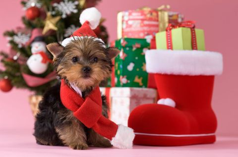 Dog breed, Dog, Toy, Carnivore, Dog supply, Red, Dog clothes, Interior design, Christmas, Pet supply,