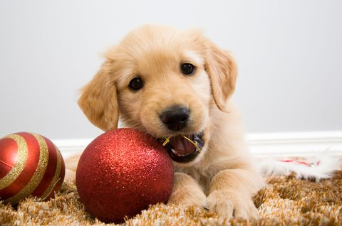 Dog breed, Dog, Carnivore, Ball, Dog supply, Snout, Fawn, Blond, Ball, Canidae,