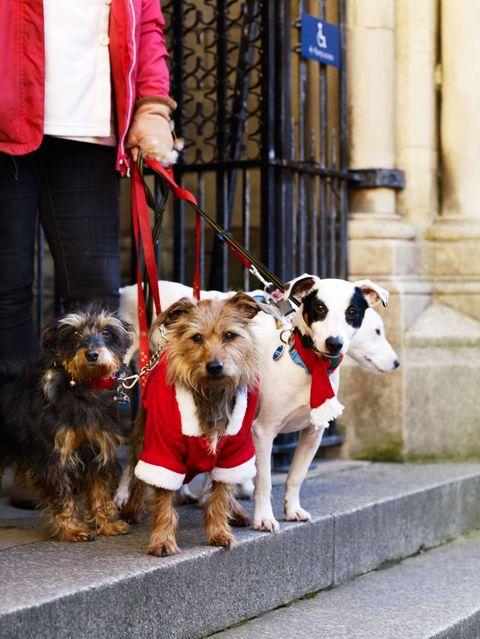 Dog breed, Human, Dog, Carnivore, Collar, Leash, Vertebrate, Mammal, Dog supply, Sporting Group,