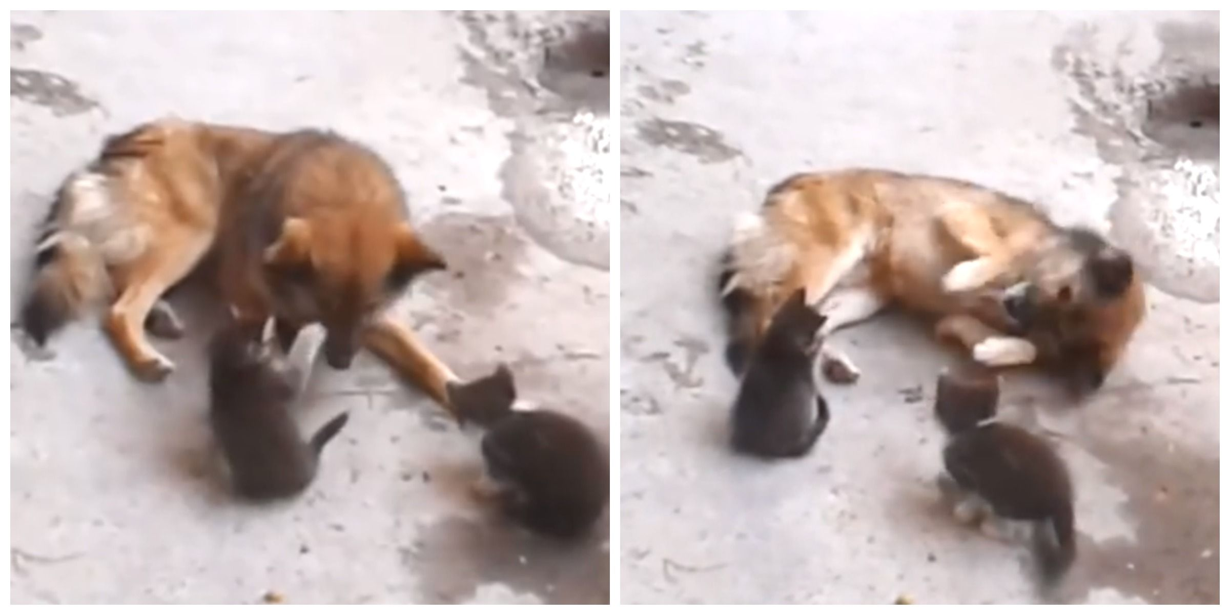 Momma Cat Introduces Kittens To Dog Viral Video Of Cats And Dogs