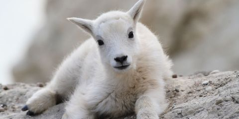 Daytime, Skin, White, Adaptation, Beauty, Snout, Terrestrial animal, Grey, Fur, Sheep,