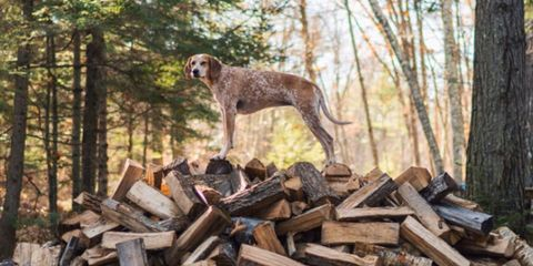 Wood, Brown, Carnivore, Dog, Dog breed, Hardwood, Forest, Woody plant, Trunk, Woodland,
