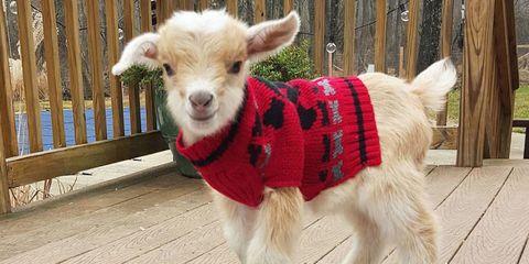 Vertebrate, Snout, Terrestrial animal, Collar, Rural area, Fur, Dog clothes, Fawn, Livestock, Wool,