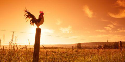 Beak, Bird, Phasianidae, Galliformes, Vertebrate, Farm, Field, Fowl, Grassland, Chicken,