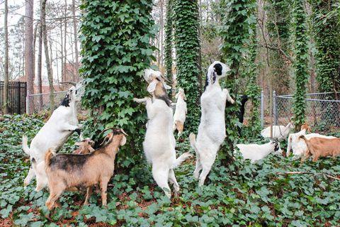 Groundcover, Terrestrial animal, Fur, Fawn, Garden, Shrub, Home fencing, Herd, Backyard, Yard,