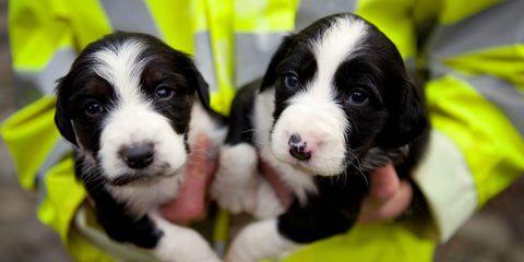 Dog, Vertebrate, Carnivore, Dog breed, Snout, Iris, Puppy, Terrestrial animal, Whiskers, Working animal,