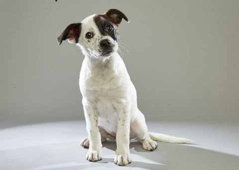 Dog breed, Dog, Carnivore, Floor, Snout, Working animal, Terrestrial animal, Companion dog, Fawn, Canidae,
