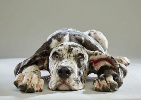 Dog breed, Dog, Carnivore, Vertebrate, Mammal, Snout, Beige, Terrestrial animal, Companion dog, Working animal,