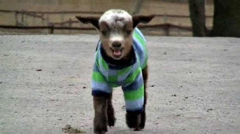 Violet The Rescued Baby Goat Is The New Love Of Our Lives